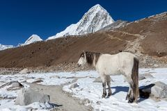 Cheval blanc se tenant sur la traînée à la base d'everest photo libre de droits