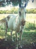 Cheval blanc sous l'arbre photographie stock libre de droits