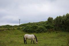 Cheval blanc sur le champ Photo stock