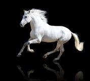 Cheval blanc sur le noir Images stock