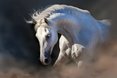 Cheval blanc sur le noir Photos libres de droits