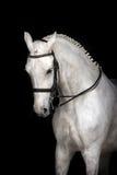 Cheval blanc sur le noir photographie stock