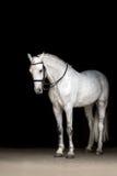Cheval blanc sur le noir images libres de droits