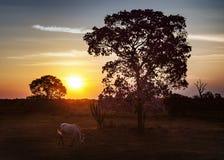 Cheval blanc sur le pâturage au coucher du soleil Photos stock