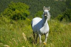 Cheval blanc sur le pré Photographie stock