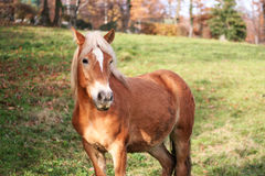 Cheval blond Photographie stock