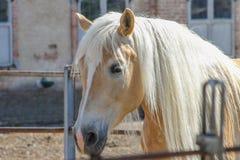 Cheval blond images libres de droits