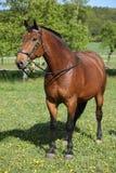 Cheval brun étonnant avec le beau frein Images libres de droits
