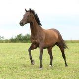 Cheval brun étonnant seul fonctionnant photos libres de droits