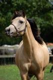 Cheval brun clair Photo libre de droits