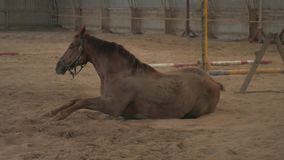 Cheval brun de châtaigne roulant plus de se vautrer sur un pré de sable banque de vidéos
