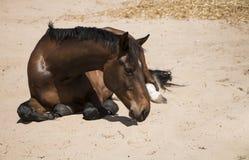Cheval brun de châtaigne se situant dans le sable Images stock