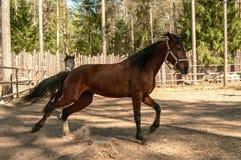 Cheval brun galopant Photographie stock