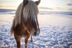 Cheval brun islandais mignon dans le soleil de lever de soleil image stock