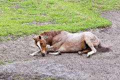Cheval brun somnolent photographie stock