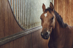 Cheval brun vigilant Photographie stock libre de droits