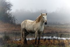 Cheval Camargue images stock