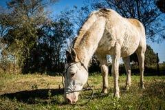 Cheval coloré semi-blanc de jument frôlant dans le domaine Photo libre de droits