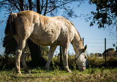 Cheval coloré semi-blanc de jument frôlant dans le domaine Image libre de droits