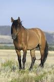 Cheval connu sous le nom de Casanova Images stock