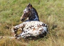 cheval, course d'appaloosa image libre de droits
