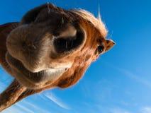 Cheval curieux Photographie stock libre de droits