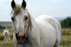 Cheval curieux images stock
