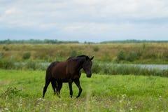 Cheval d'élevage dans le pâturage Photographie stock libre de droits