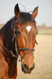 Cheval d'équitation armé par tête photographie stock libre de droits