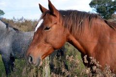 Cheval d'Alazan Image libre de droits