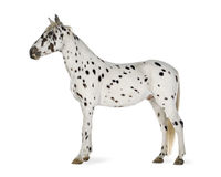 Cheval d'Appaloosa images libres de droits