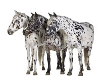 Cheval d'Appaloosa Photographie stock