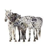 Cheval d'Appaloosa Photographie stock libre de droits