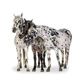 Cheval d'Appaloosa Images stock