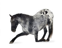 Cheval d'Appaloosa Photos stock
