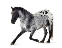 Cheval d'Appaloosa Photo stock