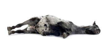 Cheval d'Appaloosa Image stock
