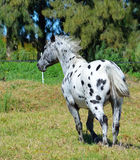 Cheval d'Appaloosa Photo libre de droits