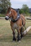 Cheval d'Ardennes Image libre de droits