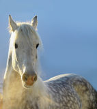Cheval d'hiver Image stock