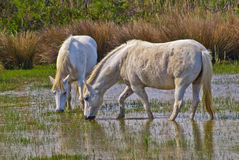Cheval dans Camargue Photo libre de droits