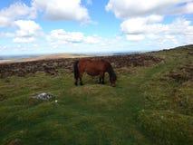 Cheval dans Dartmoor Photographie stock libre de droits
