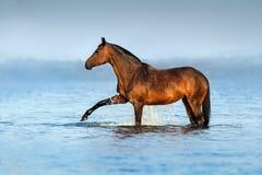 Cheval dans l'eau bleue images libres de droits