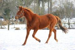 Cheval dans la neige Images libres de droits