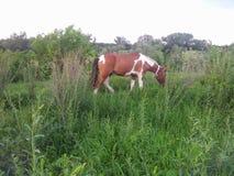 Cheval dans la prairie Image libre de droits