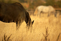 Cheval dans la prairie Photos stock