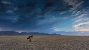 Cheval dans la steppe Photographie stock libre de droits