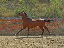 Cheval dans le galop Photos stock