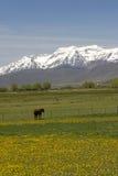 Cheval dans le pâturage avec des montagnes Photos libres de droits
