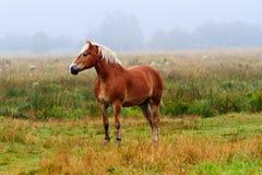 Cheval dans le pré brumeux Image libre de droits